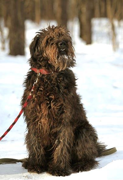 http://borodatiki-beda.narod.ru/DogsCatalogue/Chara_05.jpg