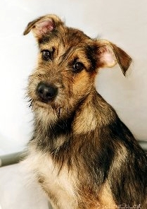 http://borodatiki-beda.narod.ru/DogsCatalogue/Rick_01.jpg